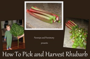 How To Pick and Harvest Rhubarb